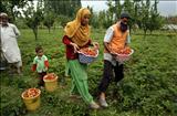 Strawberry farm in Srinagar
