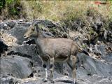 Nilgiri Tahr (Hemitragus hylocrius) at Eravikulam National Park