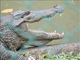 croc rock