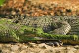 Croc vision
