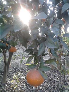 Oranges....