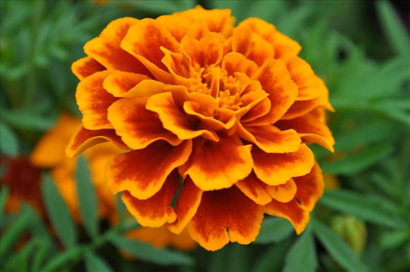 Red Orange Fringed Marigold