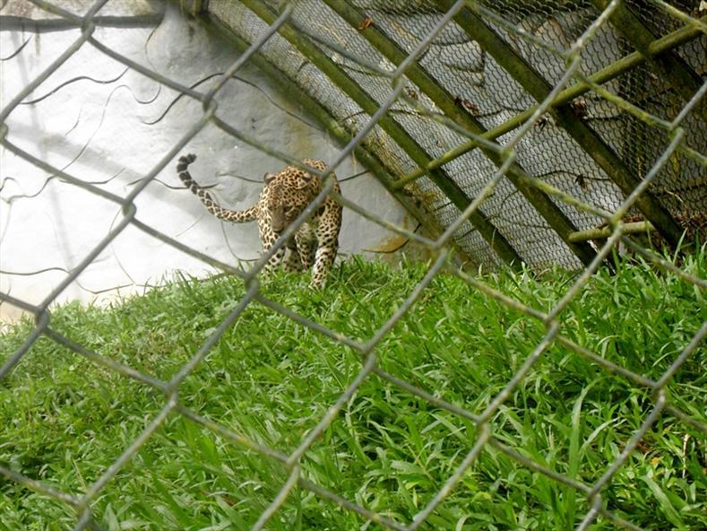 Leopard at Thiruvananthapuram Zoo