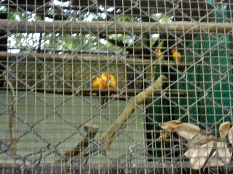 Love Birds at Thiruvananthapuram Zoo