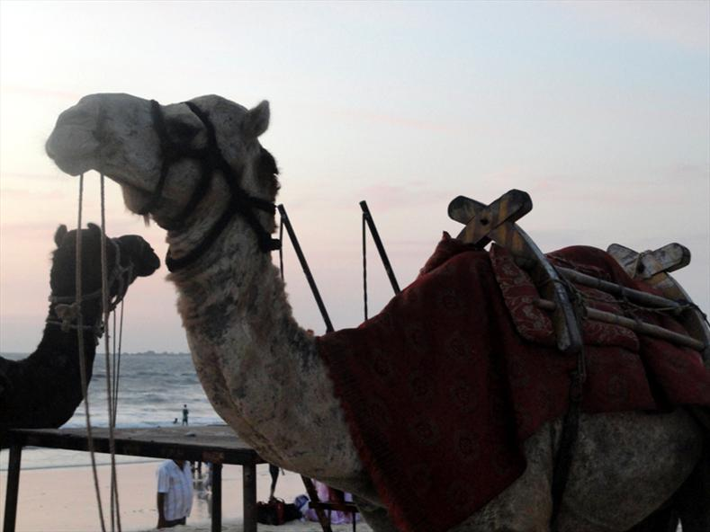 Camels at Malpe Beach