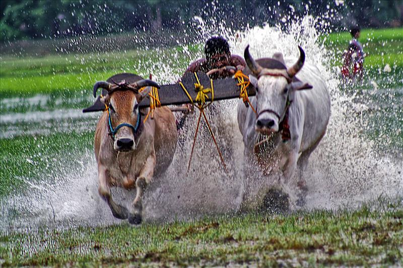 Battle with Cattle