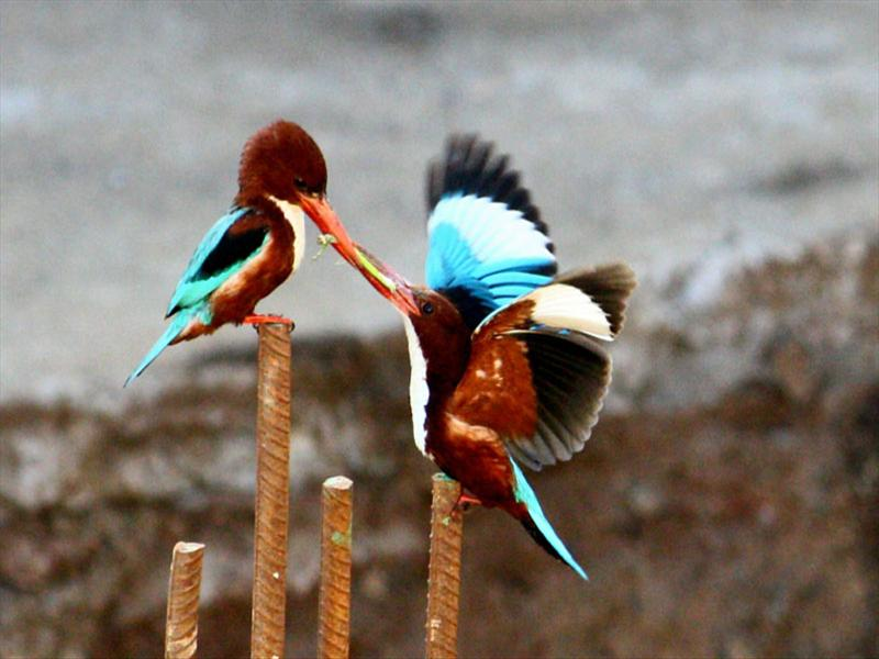 THE KINGFISHERS WITH A CATCH
