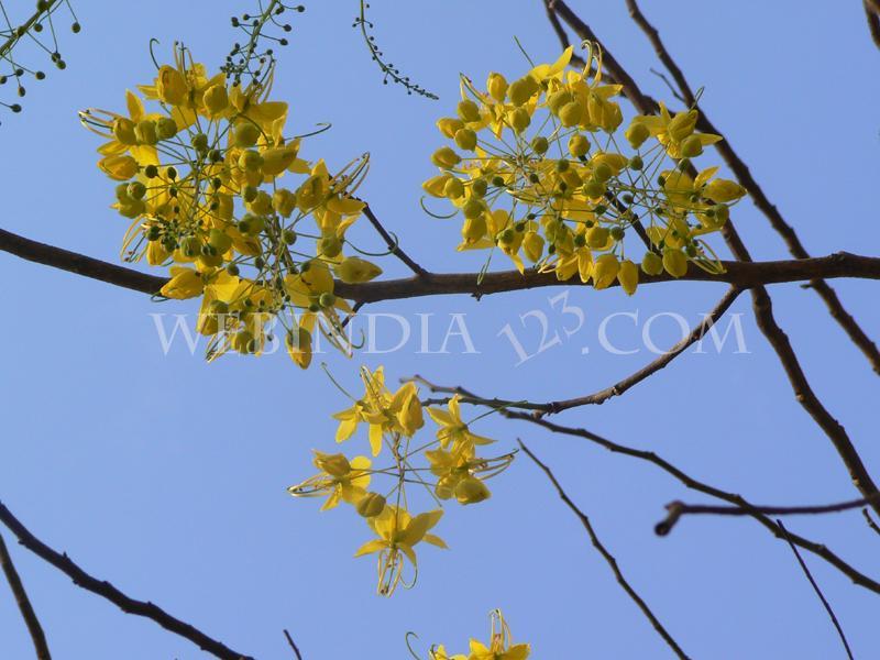 Kani Konna Flower