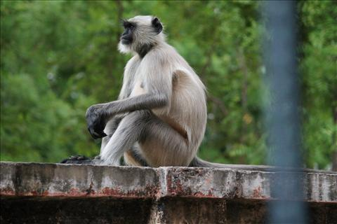 Langoor Sitting In a Human Style