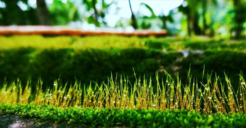 Grass Dews