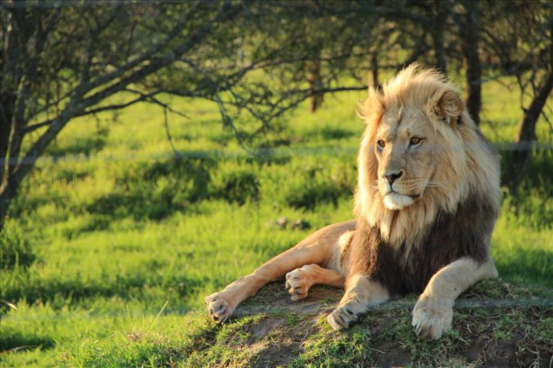 king lion at its best