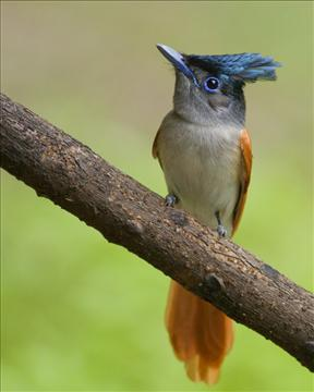 ASIAN PARADISE FLY CATCHER