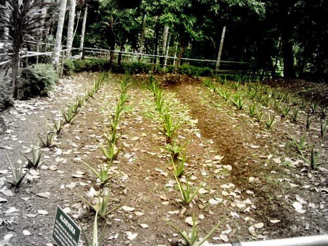 ALOEVERA PLANTATION!!!!!!!