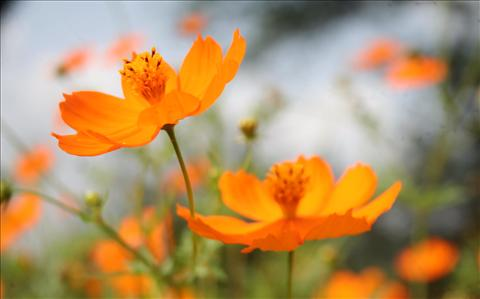 Orange Colour Flowers