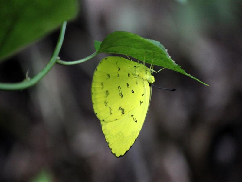 butterfly under the leaf