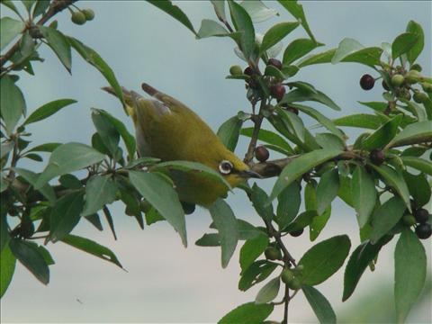 Innocent little fat green bird