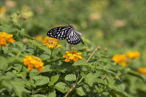 fluttering beauties