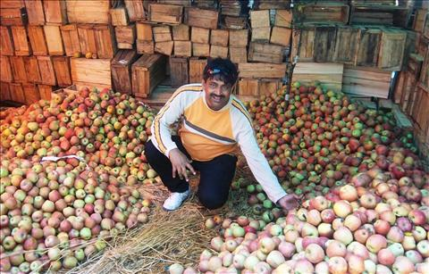 Apple Garden at Pahalgam