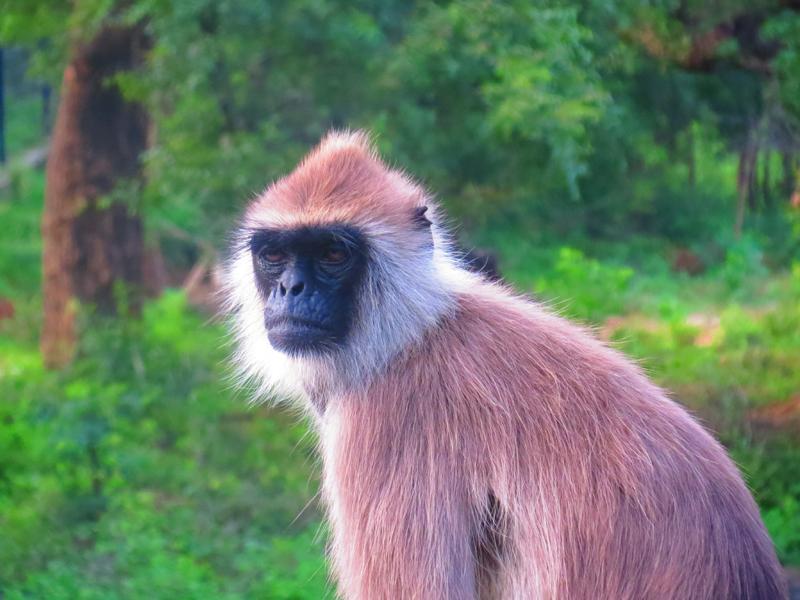 Black Faced Langur