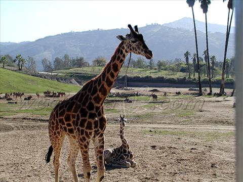 Giraffe at Wild Animal Park, USA