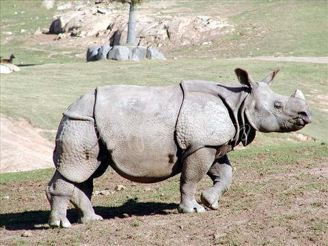 Rhinocers at Wild Animal Park, USA