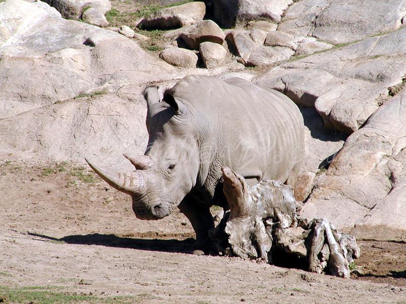 Rhinocers at Wild Animal Park, USA