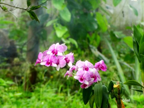 White and Purple Colour Orchid