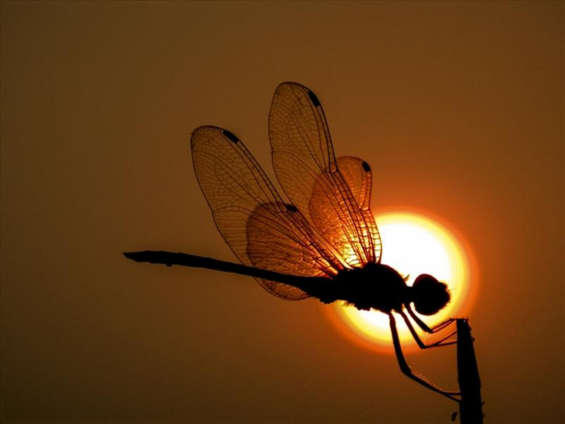 The Dragonfly On The Sky, In The Middle Of The Sun