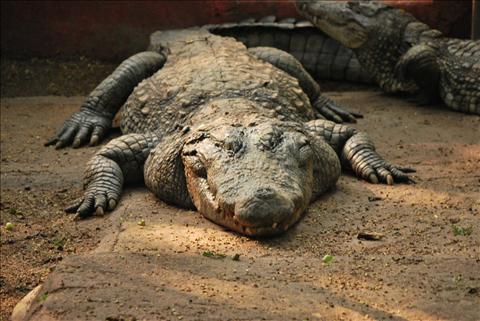 a croc in wild