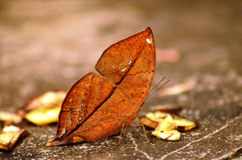 Leaves Butterfly