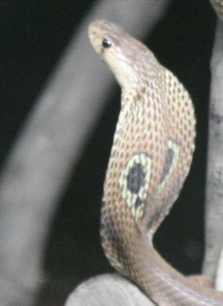 Spectacal Cobra