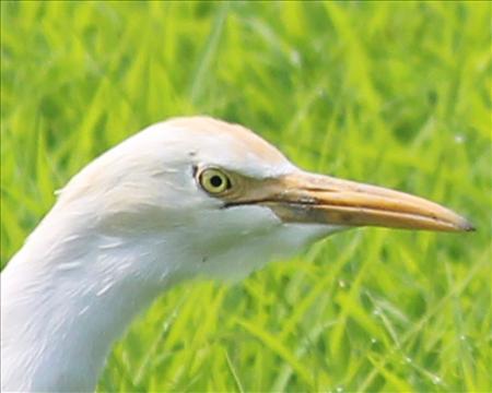 Crane Beak