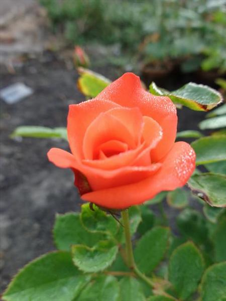 morning rose