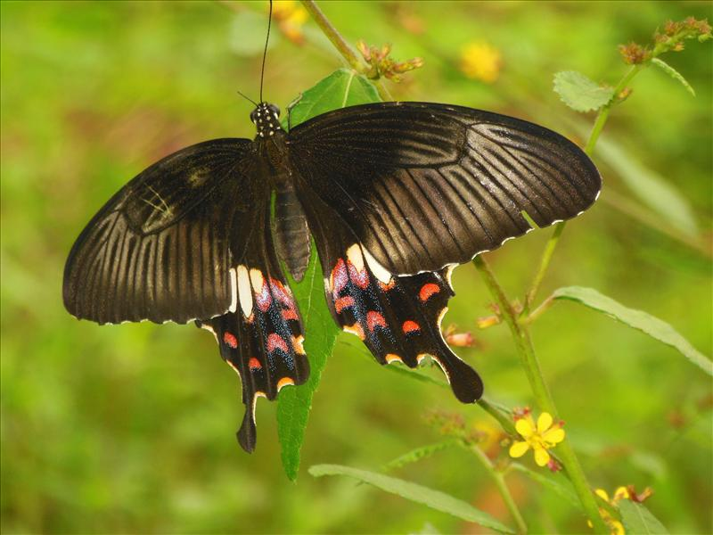 'Common Mormon' Butterfly...