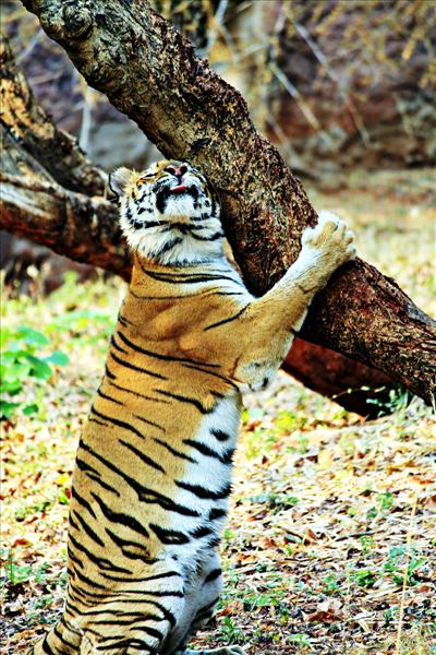 Royal Bengal Tiger in Love with a tree!!!