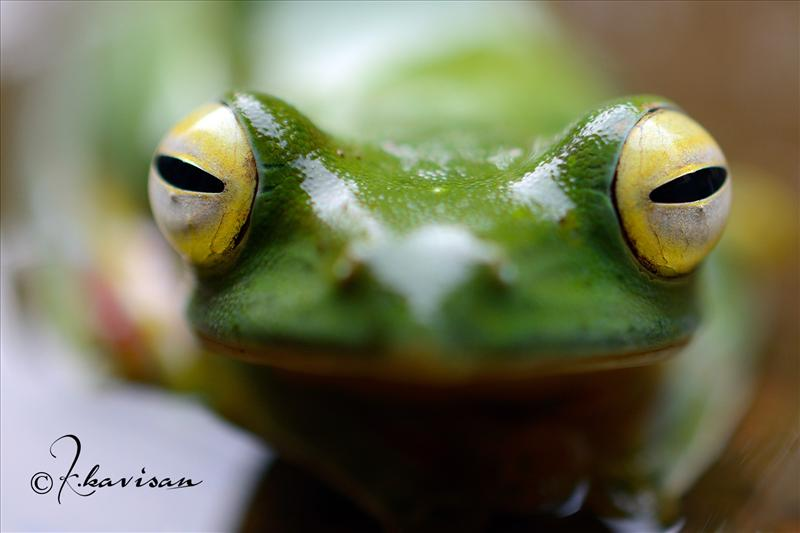 FLY FROG