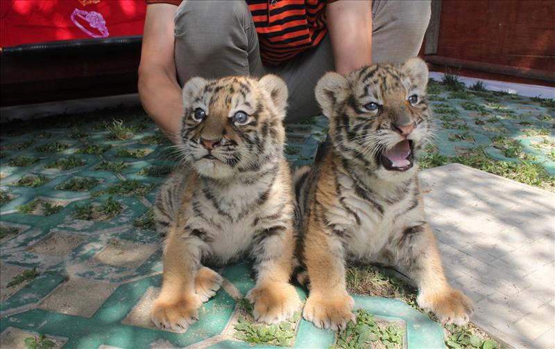Siberian tiger cubs at zoo in Shiyan City, China