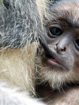 A baby monkey breastfeeding