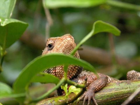The lizard of Western Ghats