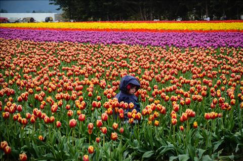 Wading through the tulips