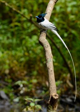 Asian paradise flycatcher-Male