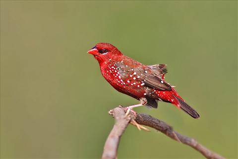 Red Munia or Red Avadavat