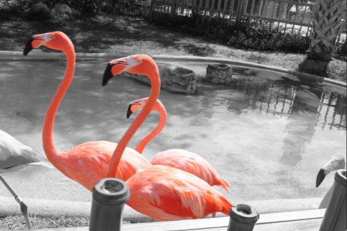 the three flamingo