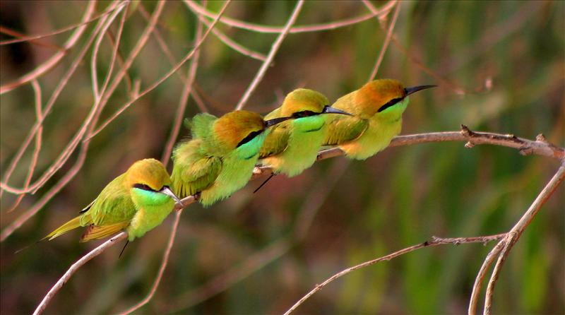 Party of Green Bee Eaters
