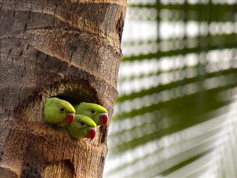 Juvenile Rose - Ringed Parakeet