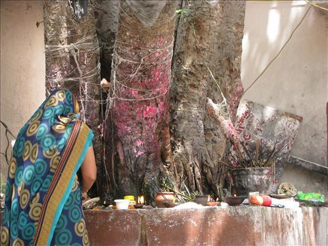 Amavasya Pooja - Peepal Tree