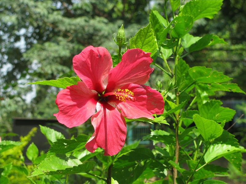 Red Hibiscus flower - (Jasood)