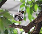 One Legged Myna