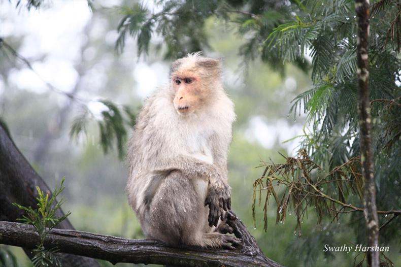 Monkey at Kodaikanal
