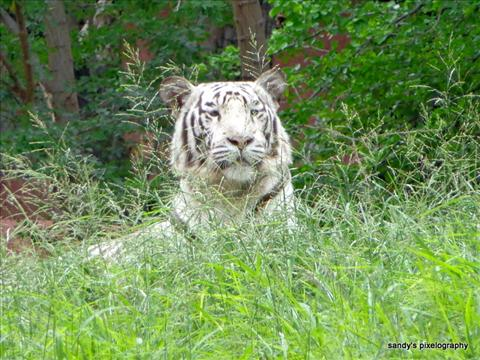 image of a white tiger